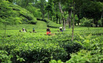 Extension au Bangladesh, le pays du thé en deux jours
