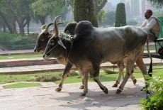 Voyage en Inde: Pushkar Fair, la foire aux bestiaux