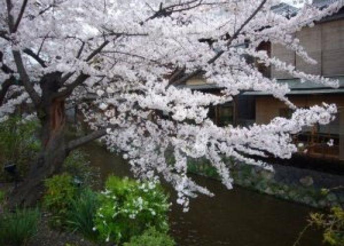 Voyage au Japon : Sakura, la saison des cerisiers en fleurs de Kyoto