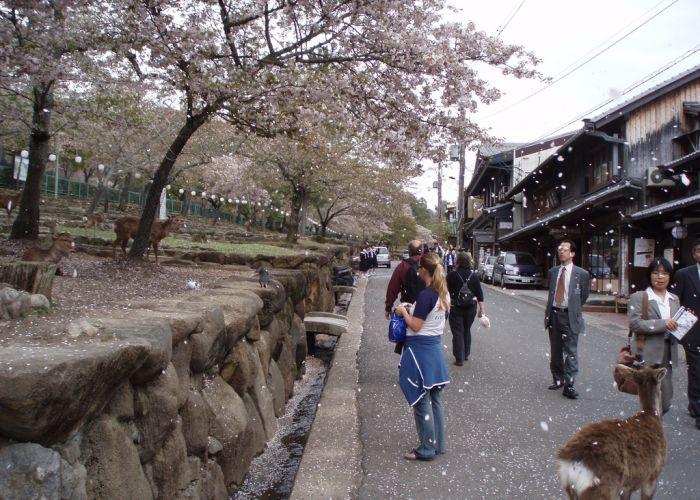 Circuit sur-mesure Japon : Sakura, la saison des cerisiers en fleurs