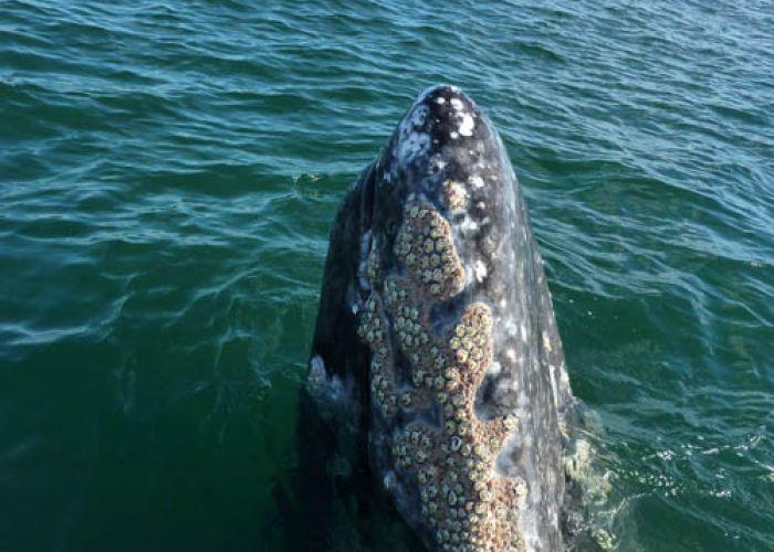 Extension à la rencontre des baleines grises en huit jours