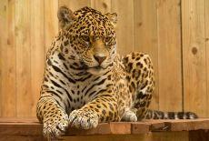 Circuit Panama : Photoreportage – Les Jaguars