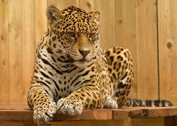 Voyage au Panama: Photoreportage – Les Jaguars